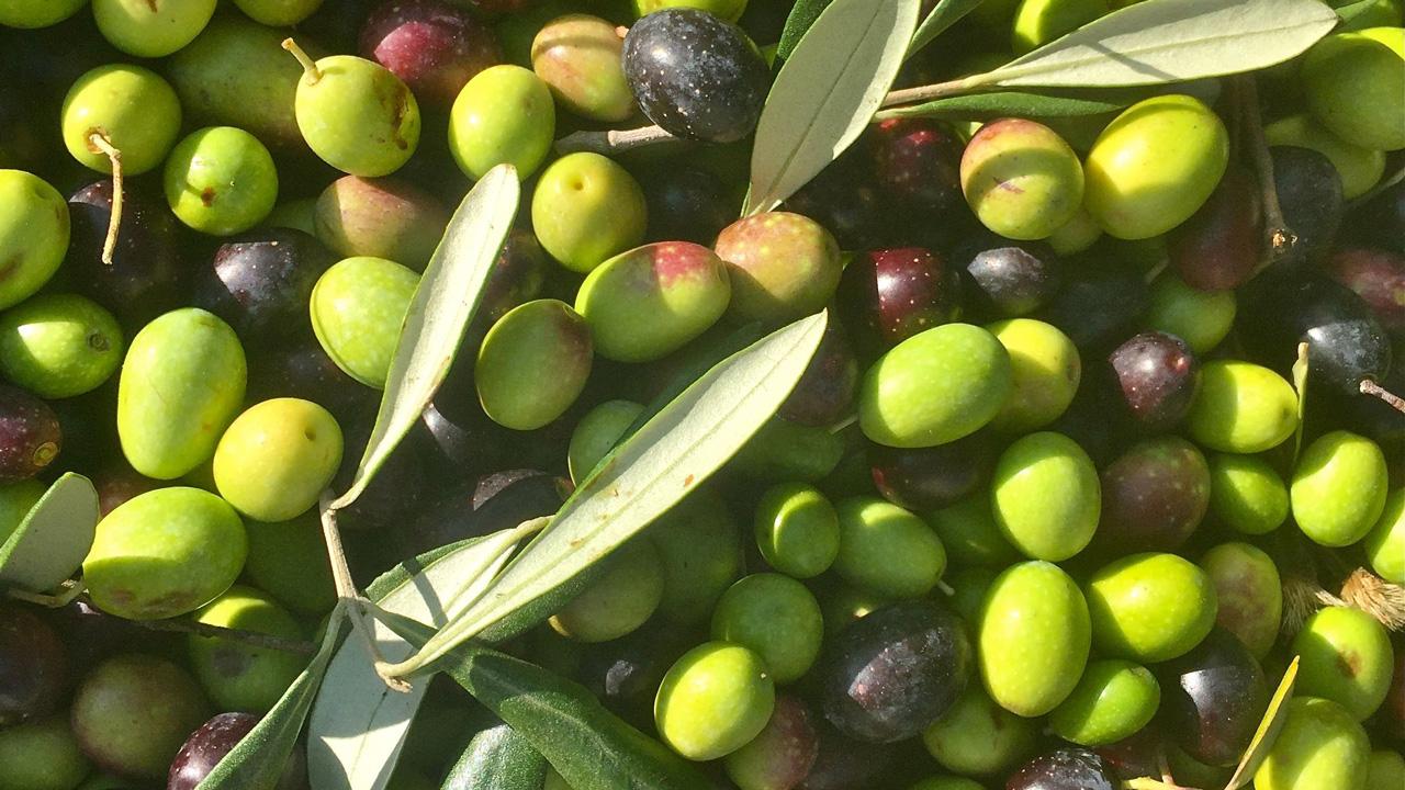 Olive Toscana Italy